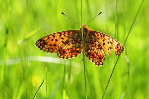 Small pearl bordered fritillary butterfly (Boloria selene) in grass, Radnorshire Wildlife Trust Nature Reserve, Wales, UK, June.  -  David Woodfall