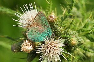 Green Hairstreak (Callophrys rubi) butterfly on thistle. Radnorshire Wildlife Trust Nature Reserve, Wales, UK, June.  -  David Woodfall