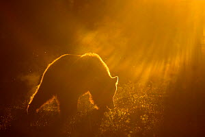 Brown Bear (Ursus arctos) silhouetted at dawn, Suomussalmi, Kainuu region, Finland, Europe, June 2008, Exclusive Japanese calendar rights for 2014 - Danny Green