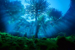 Underwater view of tree, with sun rays entering the water, Fibreno Lake nature reserve, Lazio, Italy.  -  Wild  Wonders of Europe / S�