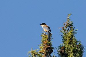 Azure winged magpie (Cyanopica cyana) perched at the top of a Mediterranean cypress tree (Cupressus sempervirens), Algarve, Portugal, June.  -  Nick Upton