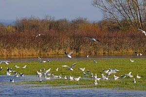Black headed gulls Chroicocephalus ridibundus) in winter plumage in flight over others feeding on flooded meadow on the Somerset Levels after several days of heavy rain, UK, December.  -  Nick Upton