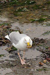 Herring gull (Larus argentatus) eating a Shore crab (Carcinus maenas) which it has caught in the Looe estuary at low tide, Cornwall, UK, June.  -  Nick Upton
