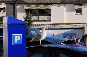 Herring gull (Larus argentatus) standing on car roof in a car park waiting to scavenge food dropped by tourists, Looe, Cornwall, UK, August.  -  Nick Upton