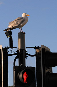Herring gull (Larus argentatus) perched on traffic light support post by a pedestrian crossing, on the look out for food, Looe, Cornwall, UK, August.  -  Nick Upton