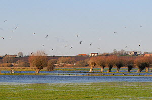 Lapwings (Vanellus vanellus) coming in to land on flooded meadows on the Somerset Levels after several days of heavy rain, UK, December.  -  Nick Upton