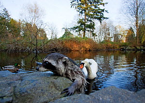 Raccoon (Procyon lotor) climbing out of a lake, escaping the nipping beak of a swan, defending its territory, Stanley Park, Vancouver, BC, Canada  -  Matthew Maran