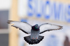 Feral pigeon (Columba livia) flying, London, March  -  David Tipling
