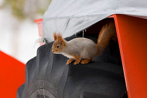 Red squirrel (Sciurus vulgaris) on wheel of snow plough, Oulu, Finland, March  -  David Tipling