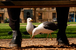 Herring gulls (Larus argentatus) being fed by an office worker in  park, Bristol, UK  -  Rob Cousins