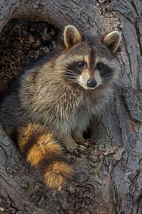 Raccoon (Procyon lotor) in resting in the hole of a tree, New York, USA - John Cancalosi