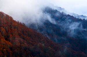 European beech forest (Fagus sylvatica) covered in low cloud cover, Polino, Umbria, Italy.  -  Wild Wonders of Europe / Müller