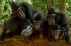 Celebes / Black crested macaque (Macaca nigra)  group watching with curiosity, Tangkoko National Park, Sulawesi, Indonesia  -  Anup Shah