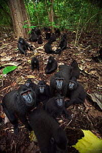 Celebes / Black crested macaque (Macaca nigra)  group approaching with curiosity, Tangkoko National Park, Sulawesi, Indonesia. - Anup Shah