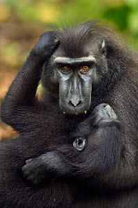 Celebes / Black crested macaque (Macaca nigra)  sub-adult male playing with a juvenile, Tangkoko National Park, Sulawesi, Indonesia. - Anup Shah