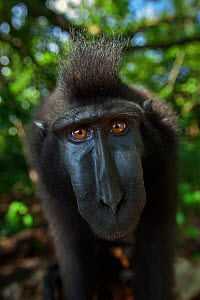 Celebes / Black crested macaque (Macaca nigra)  sub-adult male head and shoulders portrait, Tangkoko National Park, Sulawesi, Indonesia.  -  Anup Shah