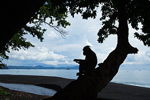 Celebes / Black crested macaque (Macaca nigra) silhouette of juvenile sitting in a tree at coast, Tangkoko National Park, Sulawesi, Indonesia. - Anup Shah