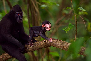 Celebes / Black crested macaque (Macaca nigra)  female sitting in a tree with her baby aged less than 1 month, Tangkoko National Park, Sulawesi, Indonesia.  -  Anup Shah