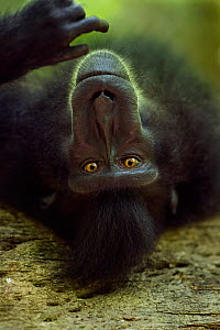 Celebes / Black crested macaque (Macaca nigra)  sub-adult male resting on a fallen tree, Tangkoko National Park, Sulawesi, Indonesia.  -  Anup Shah