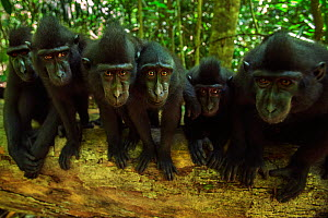 Celebes / Black crested macaque (Macaca nigra)  group watching with curiosity, Tangkoko National Park, Sulawesi, Indonesia.  -  Anup Shah