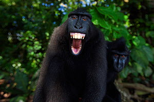 Celebes / Black crested macaque (Macaca nigra)  sub-adult male making threat gesture, most likely against reflection in camera lens, Tangkoko National Park, Sulawesi, Indonesia.  -  Anup Shah