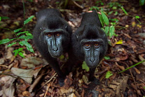 Celebes / Black crested macaque (Macaca nigra)  two juveniles approaching with curiosity, Tangkoko National Park, Sulawesi, Indonesia. - Anup Shah