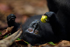 Celebes / Black crested macaque (Macaca nigra)  juvenile feeding on a fruit whilst lying on back, Tangkoko National Park, Sulawesi, Indonesia. - Anup Shah
