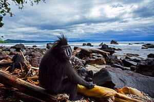 Celebes / Black crested macaque (Macaca nigra)  sub-adult male sitting on a beach, Tangkoko National Park, Sulawesi, Indonesia.  -  Anup Shah