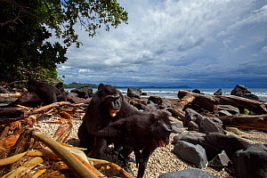 Celebes / Black crested macaque (Macaca nigra)  mature male grabbing a female against her will whilst on beach, Tangkoko National Park, Sulawesi, Indonesia. - Anup Shah