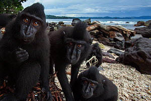 Celebes / Black crested macaque (Macaca nigra)  juveniles watching with curiosity while they feed on a banana tree washed up on the beach, Tangkoko National Park, Sulawesi, Indonesia. - Anup Shah
