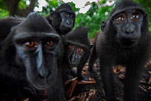Celebes / Black crested macaque (Macaca nigra) group up close, watching with curiosity, Tangkoko National Park, Sulawesi, Indonesia.  -  Anup Shah