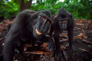 Celebes / Black crested macaque (Macaca nigra) two juveniles approaching with curiosity, one grimacing Tangkoko National Park, Sulawesi, Indonesia. - Anup Shah