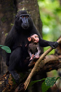 Celebes / Black crested macaque (Macaca nigra)  female sitting with her baby aged less than 1 month in a tree, Tangkoko National Park, Sulawesi, Indonesia. - Anup Shah