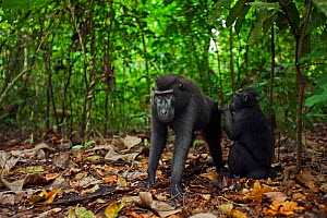 Celebes / Black crested macaque (Macaca nigra)  juvenile grooming a sub-adult male, Tangkoko National Park, Sulawesi, Indonesia. - Anup Shah