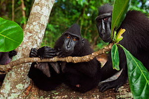 Celebes / Black crested macaque (Macaca nigra)  group sitting on a fallen tree, Tangkoko National Park, Sulawesi, Indonesia. - Anup Shah
