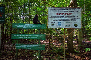 Celebes / Black crested macaque (Macaca nigra)  sub-adult male sitting on a National Park sign, Tangkoko National Park, Sulawesi, Indonesia.  -  Anup Shah