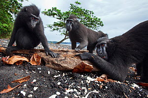 Celebes / Black crested macaque (Macaca nigra) s licking drift wood on the beach for the salt, Tangkoko National Park, Sulawesi, Indonesia.  -  Anup Shah