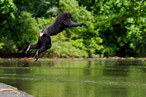 Celebes / Black crested macaque (Macaca nigra)  sub-adult male jumping into the river, Tangkoko National Park, Sulawesi, Indonesia. - Anup Shah