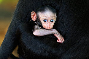Celebes / Black crested macaque (Macaca nigra)  baby less than 1 month  in its mothers arms, Tangkoko National Park, Sulawesi, Indonesia. - Fiona Rogers