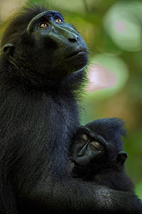 Celebes / Black crested macaque (Macaca nigra)  female with suckling infant aged 9-12 months, Tangkoko National Park, Sulawesi, Indonesia.  -  Fiona Rogers