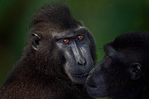 Celebes / Black crested macaque (Macaca nigra) two individuals greeting, Tangkoko National Park, Sulawesi, Indonesia.  -  Fiona Rogers