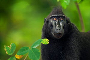 Celebes / Black crested macaque (Macaca nigra)  female head and shoulders standing portrait, Tangkoko National Park, Sulawesi, Indonesia. - Fiona Rogers