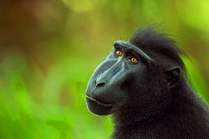 Celebes / Black crested macaque (Macaca nigra)  sub-adult male head portrait, Tangkoko National Park, Sulawesi, Indonesia. - Fiona Rogers