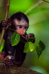 Celebes / Black crested macaque (Macaca nigra)  male baby aged less than 1 month sitting in a tree, Tangkoko National Park, Sulawesi, Indonesia. - Fiona Rogers