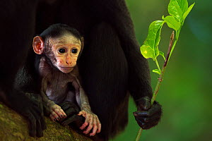 Celebes / Black crested macaque (Macaca nigra)  baby less than 1 month old in mothers arms, Tangkoko National Park, Sulawesi, Indonesia.  -  Fiona Rogers
