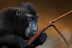 Celebes / Black crested macaque (Macaca nigra)  mature male feeding on drift wood for the salt, Tangkoko National Park, Sulawesi, Indonesia.  -  Fiona Rogers