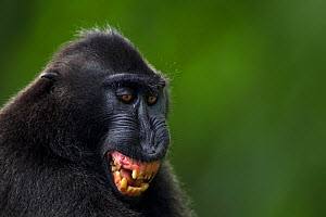 Celebes / Black crested macaque (Macaca nigra)  mature male grimacing at a female, Tangkoko National Park, Sulawesi, Indonesia.  -  Fiona Rogers