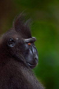 Celebes / Black crested macaque (Macaca nigra)  mature male head and shoulders portrait, Tangkoko National Park, Sulawesi, Indonesia.  -  Fiona Rogers
