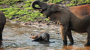 African forest elephant (Loxodonta africana cyclotis) calf bathing in waterhole, with mother drinking nearby, Dzanga Bai, Dzanga Ndoki National Park, Central African Republic.  -  Jabruson Motion