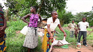 Woman purchasing Blue duiker (Cephalophus moniticola) and Grey-cheeked mangabey (Lophocebus albigena) bushmeat from hunter, Lidjombo forest road near Dzanga-Ndoki National Park, Sangha-Mbaere Prefectu... - Jabruson Motion